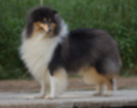 Be first amazing lov at delfluvia, collie, rough collie, Lassie