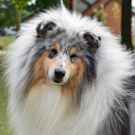 rough collie blue merle