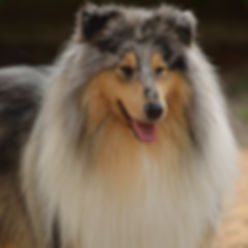 delfluvia the great Gatsby, Collie, Rough collie, LAssie