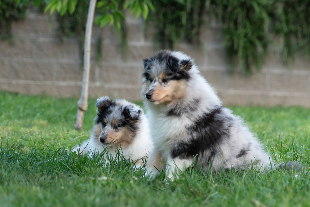 Criadores Rough Collie