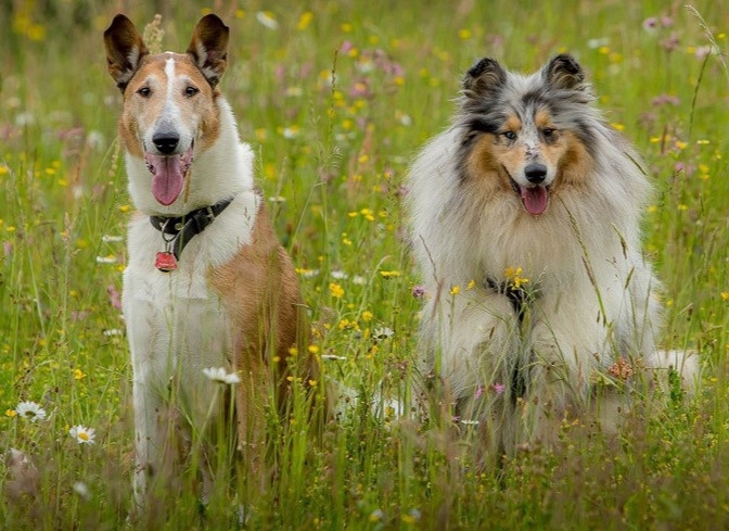 rough collie vs smooth collie