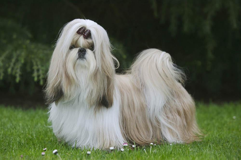 razas de perro con pelo largo