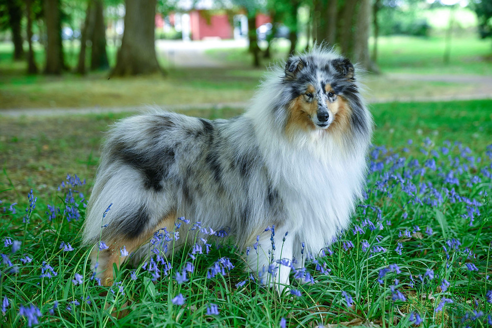 Blue Collie