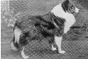 El origen del Rough Collie