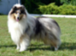 Top Less Nobel, Collie, Rough Collie, Lassie