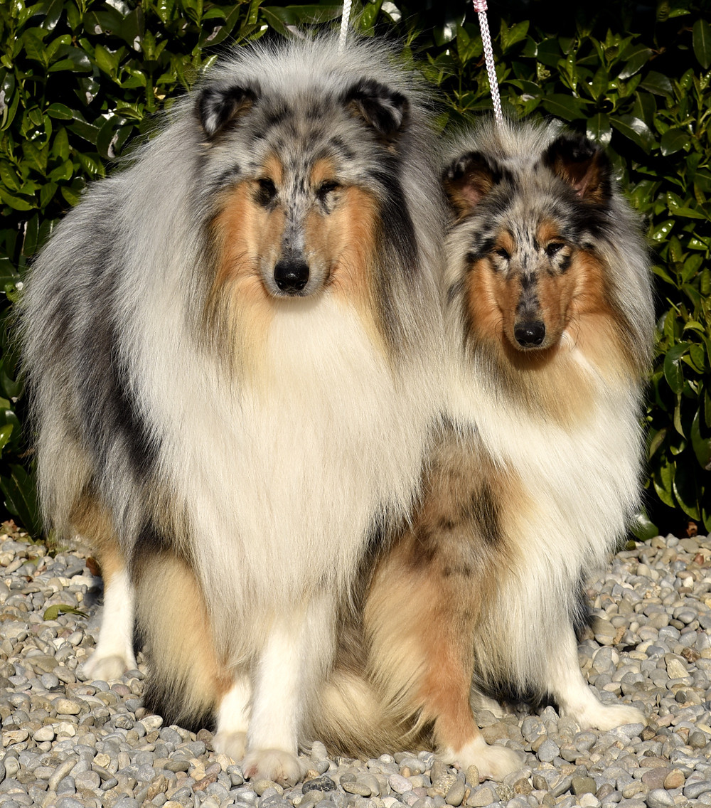 rough collie blue merlé