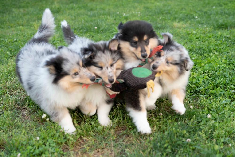 cachorros collie pelo largo