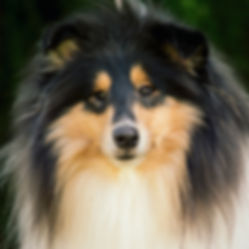 Be first Amazing love at delfluvia, Collie, Rough Collie, Lassie