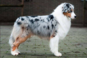7 Razas de perro blue