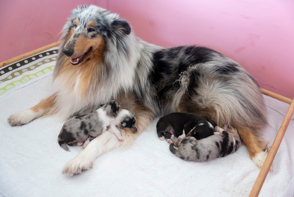cachorros de rough collie