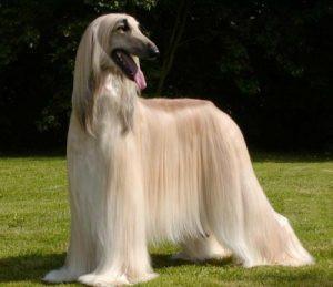 razas de perro grande de pelo largo