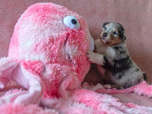 Los mejores juguetes para el cachorro de Collie