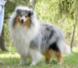 Urritz de zelai, Collie, Rough Collie, Lassie