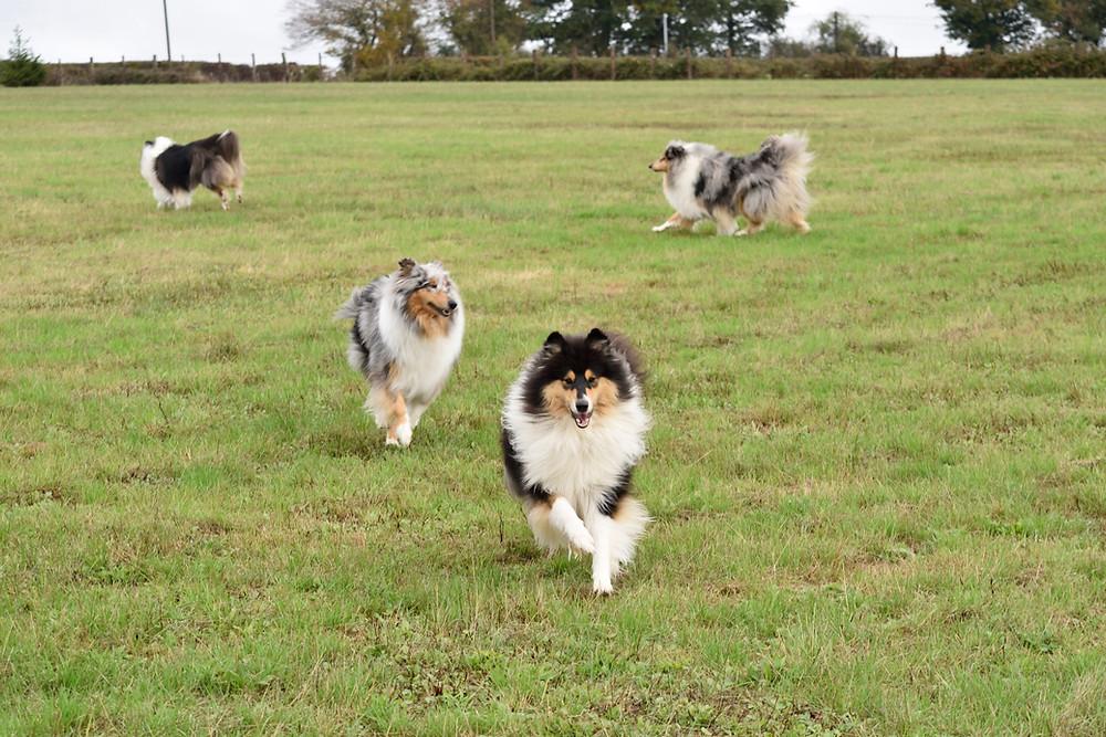 Perro pastor escocés