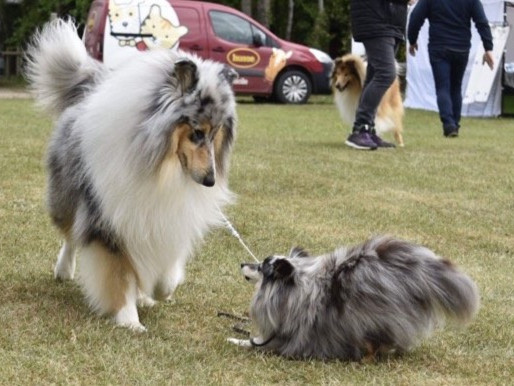 Rough Collie vs Shetland Sheepdog (Sheltie)
