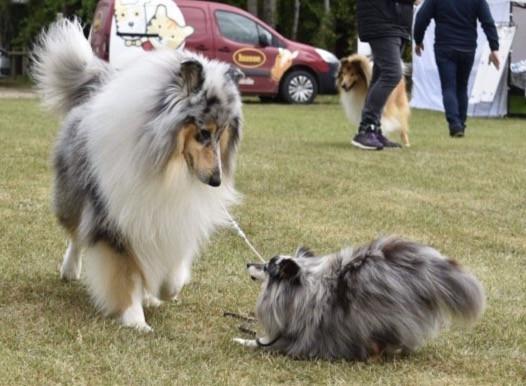 Rough Collie vs Shetland Sheepdog
