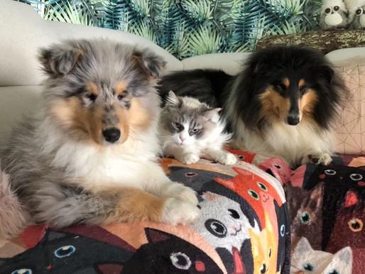 Collies & Gatos