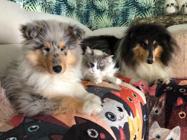 Collies y Gatos