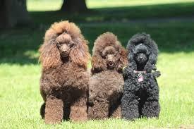 las razas de perros