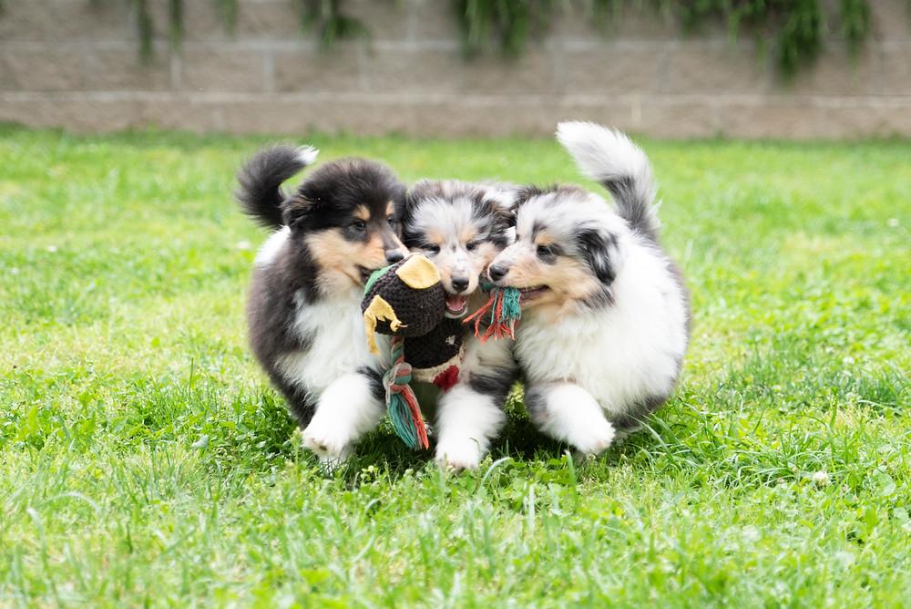 cachorros collies