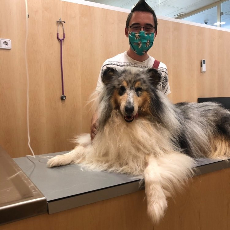 Collie veterinario