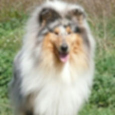 Phoenix Delfluvia, Collie, Rough collie, Lassie