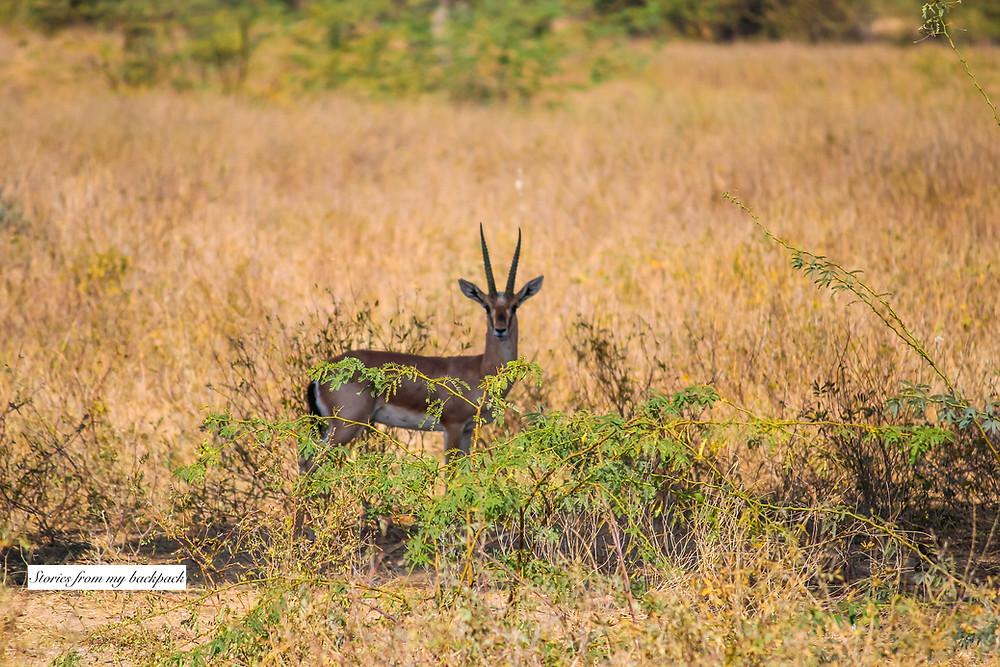 indian gazelle, chinkara, wildlife spotting in Rajasthan, wildlife safari in Rajasthan, deer, blackbuck, Bishnoi Village, Salman khan black buck