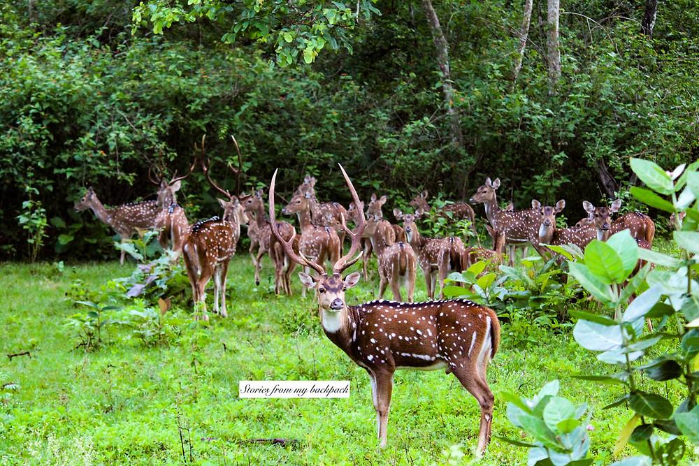 wildlife safari, wildlife conservation, deer, Indian forest, Indian gazelle, jungle book, elephant spotting