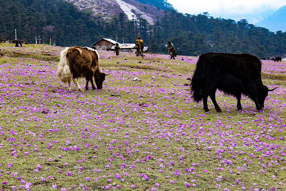 Yumthang Valley of flowers, Zero Point, Yumthang Valley, North Sikkim Tourism, North Sikkim tours, Yumthang Valley permit