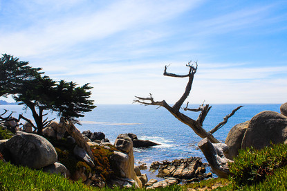 The Ghost Tree-17 Mile Drive