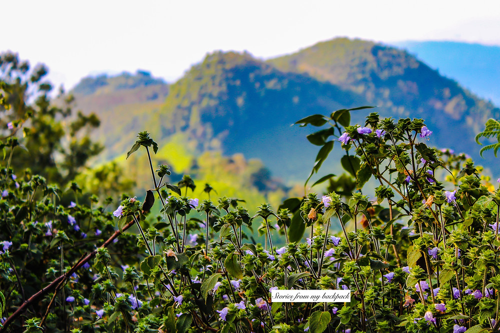 Neelakurinji flowers, strobilanthes kunthiana, 12 year bloom in Kerala, flower bloom after 12 years in Kerala, Munnar flowers, Munnar things to do, Kerala tourism, Munnar things to do
