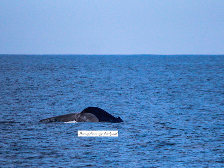 Whale watching in Sri Lanka- everything you should know!