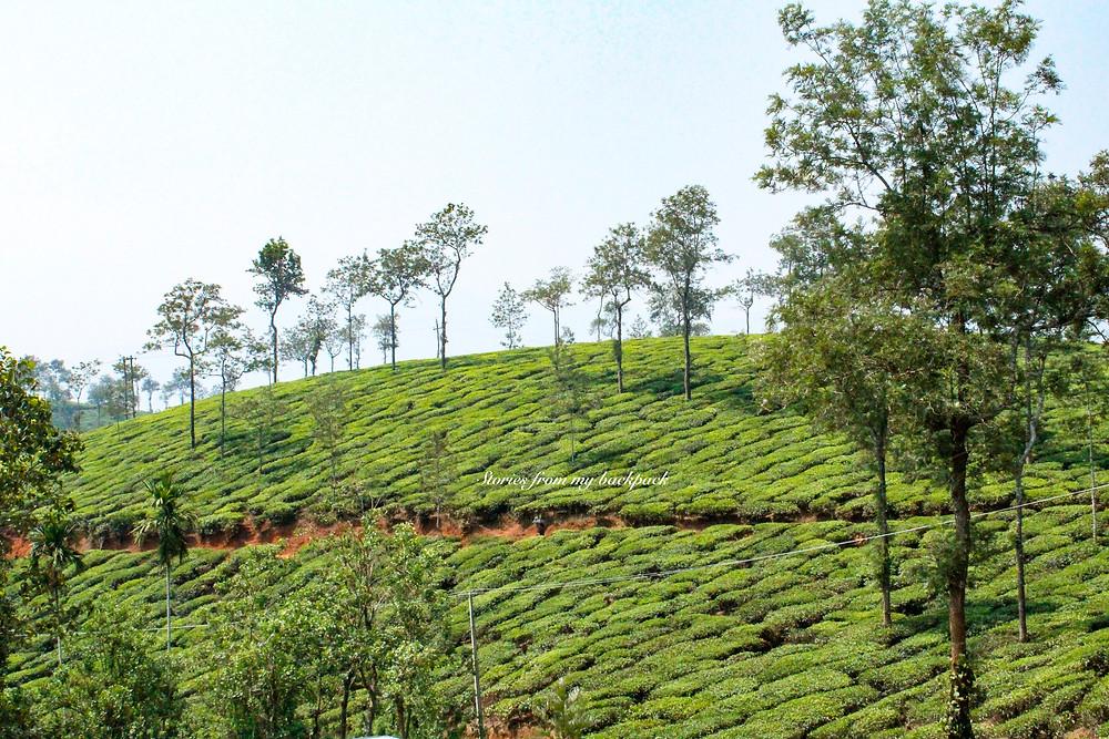 vythiri, hotels in vythiri, CGH Earth Vythiri, Vythiri things to do, tea plantation in Wayanad