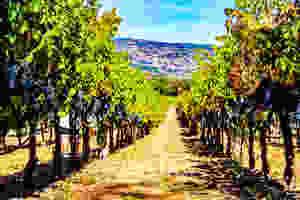 Napa valley, vineyard, wine, grapes, California wine, napa wines, Andretti winery