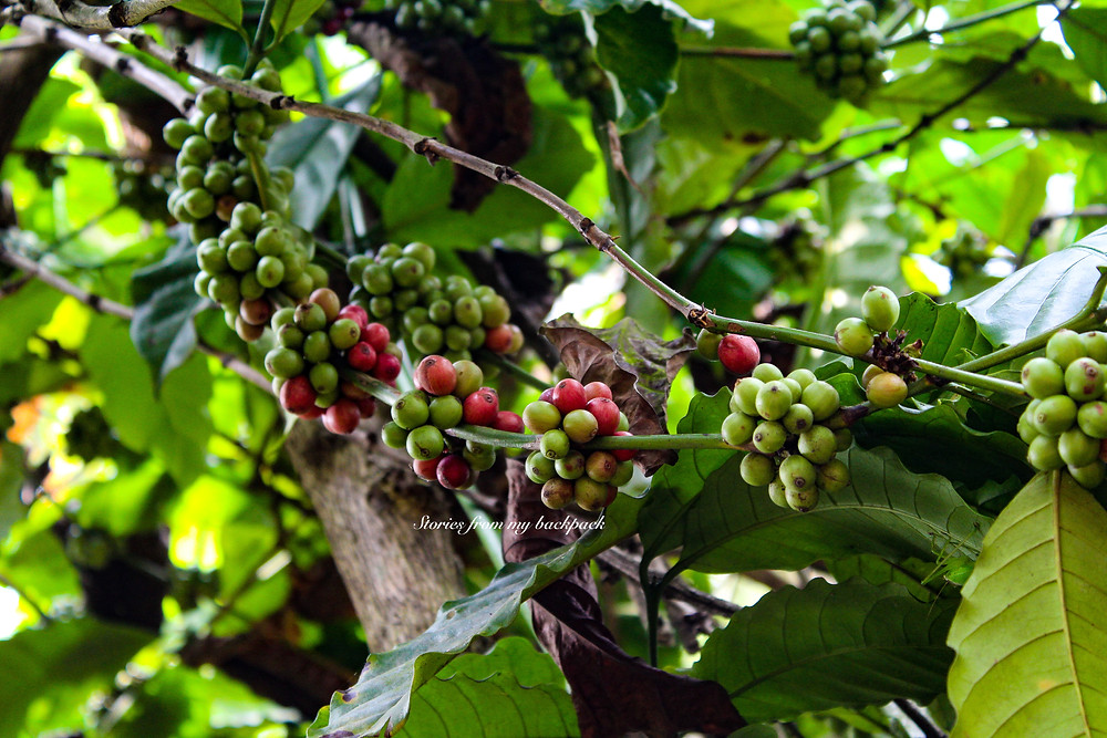 coffee plantation in wayanad, wayanad things to do, shopping in wayanad,