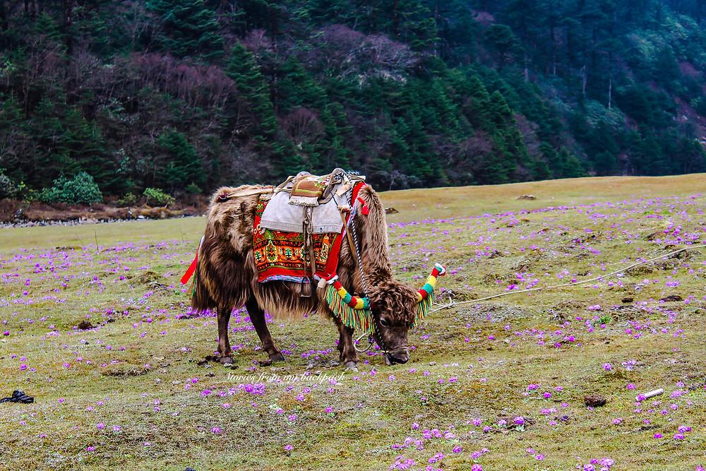 wildlife spotting, yak in Yumthang Valley, Yumthang permit, yak safari, yak safari in sikkim, North Sikkim tour