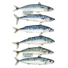 Fish – 6 mackerel – watercolour artwork