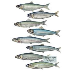 Fish – 8 sardines – watercolour artwork