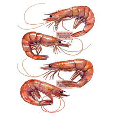 Fish – 4 prawns – watercolour artwork