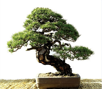 hp pine.jpg