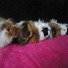 cochon d'inde yvelines médiation animale