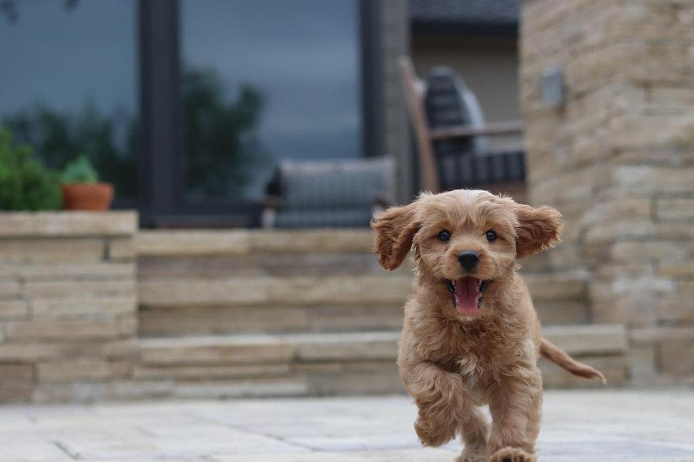 cavapoo-puppy.jpg