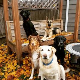 The LabShepCrew: Mi Hijo, Cali, Bo, Shuksan and Scout in front