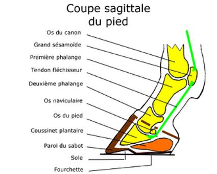 anatomie du pied cheval