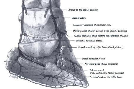 Anatomie du pied du cheval