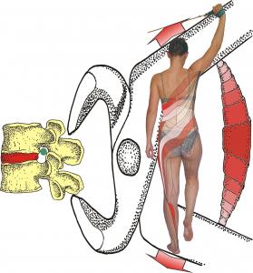 Spiralmuskeltraining 2.png