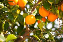 Orangenbaum-Pflege1