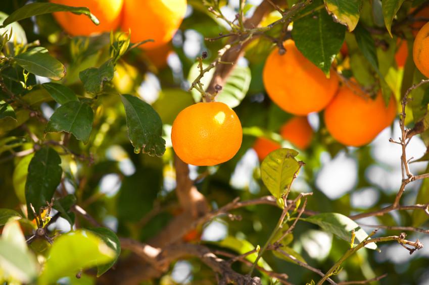 Orangenbaum-Pflege1.jpg