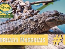 """Reprodução do jacaré-de-papo-amarelo - Jornada """"Marginais"""" cap. #8"""