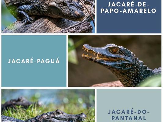 Os jacarés do Pantanal e as queimadas